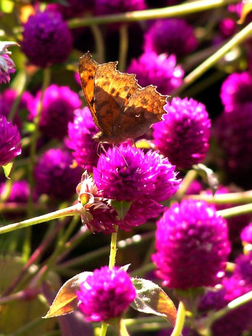 butterfly on globe amaranth - photo (c) http://www.flickr.com/photos/maynard/