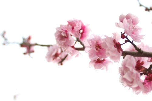 Plum Blossoms 1: Spring in California by http://www.sxc.hu/profile/adeh
